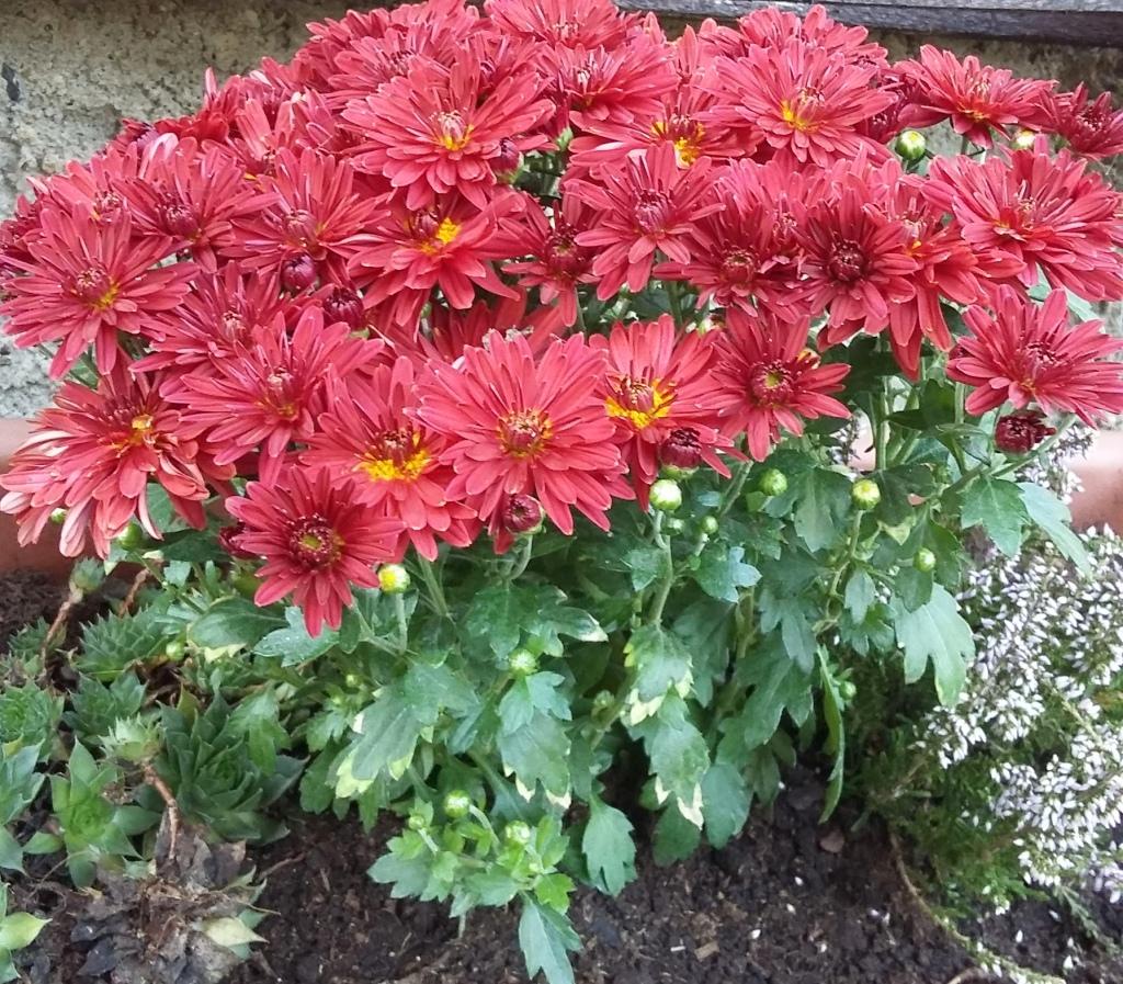Do podzimního truhlíky se hodí i letničkové astry.