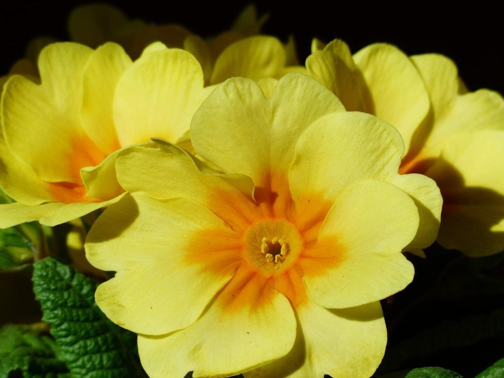 Tradičně byly primulky hlavně žluté.