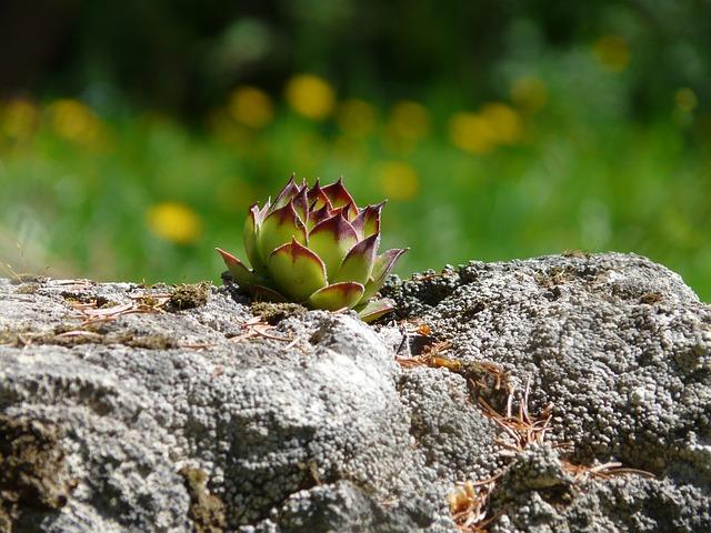 Netřesk je velmi nenáročný a v létě dokáže i krásně kvést růžovým květem.
