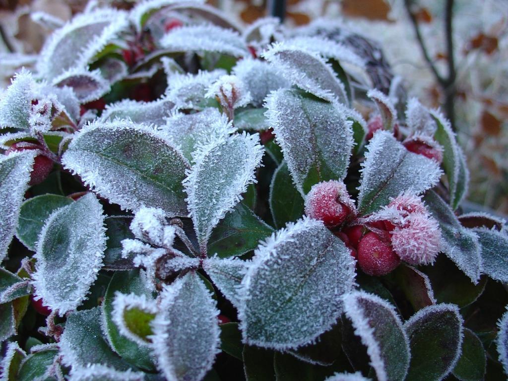 Libavka svou krásu ukáže až na podzim, kdy se plody vybarví do sytě červených tónů. sluší jí i jinovatka.